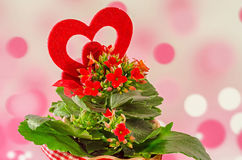 Czerwony Kalanchoe kwitnie z czerwonym kierowym kształtem, różowy bokeh tło, zakończenie up = Obraz Stock