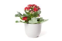 Czerwony Kalanchoe w kwiatu garnku Zdjęcia Stock