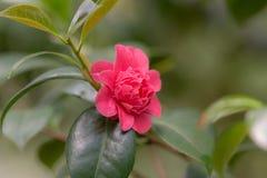 Czerwony kameliowy kwiat Zdjęcie Stock