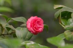 Czerwony kameliowy kwiat na gałąź Fotografia Royalty Free