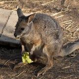 Czerwony kangur Obrazy Stock