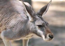 Czerwony kangur Obraz Stock