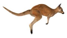 Czerwony kangur Zdjęcia Royalty Free