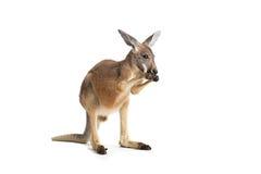 Czerwony kangur na bielu Fotografia Royalty Free