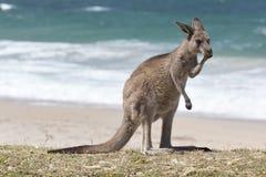 Czerwony kangur na plaży, Australia Obraz Royalty Free