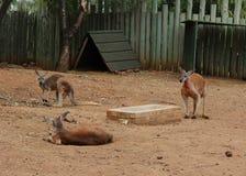 Czerwony kangura Macropus rufus przy zoo Pretoria, Południowa Afryka Obraz Stock