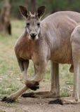 Czerwony kangura zbliżenie (Macropus rufus) obrazy stock