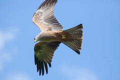 Czerwony kani Milvus milvus ptak zdobycz w locie Latać bezpośrednio Obrazy Stock