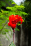Czerwony kanna kwiatów kwiat w naturze Obraz Royalty Free