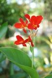 Czerwony kanna kwiat Obrazy Royalty Free