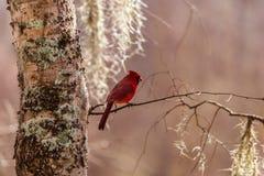 Czerwony kardynał i Hiszpański mech Zdjęcia Royalty Free