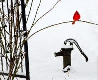 Czerwony kardynał w śniegu na górze starej żelaznej pompy wodnej Zdjęcie Stock