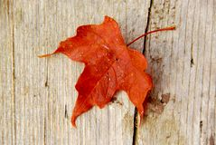czerwony klonów liściach Obraz Royalty Free