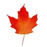 czerwony klonów liściach zdjęcie royalty free
