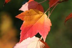 czerwony klonów liściach Fotografia Stock