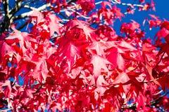 Czerwony klon Obrazy Royalty Free