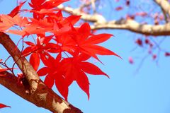 Czerwony klon w jesieni Obraz Stock