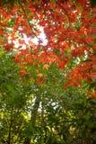 Czerwony klon w lesie Obrazy Royalty Free