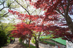 Czerwony klon z antykwarskim słupem w Japan Obraz Royalty Free