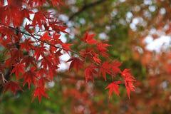 Czerwony klon z Japonia tłem obrazy stock