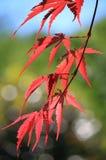 Czerwony Klonowego drzewa zbliżenie Obrazy Royalty Free