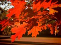 Czerwony Klonowy Drzewo zdjęcia stock