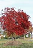 Czerwony Klonowy Drzewo Zdjęcie Stock