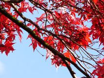 czerwony klonowy drzewo. obrazy stock