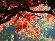 czerwony klonowy drzewo. Zdjęcie Stock