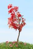 Czerwony klonowy drzewo Obraz Royalty Free