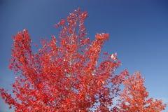 czerwony klonowy drzewo. Zdjęcie Royalty Free