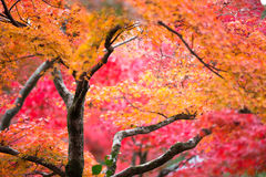 Czerwony Klonowy Drzewo Obrazy Stock