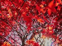 Czerwony klonowy drzewo pod słońce promieniami Fotografia Stock