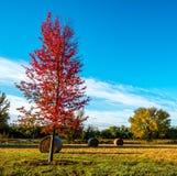 Czerwony klonowy drzewo z siano belami obraz stock
