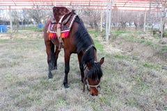 Czerwony koń obrazy royalty free