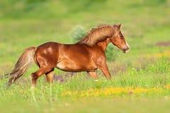 Czerwony koński bieg obrazy royalty free
