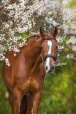 Czerwony koński portret w wiosny okwitnięciu Zdjęcia Stock