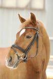 Czerwony koń Zdjęcia Royalty Free