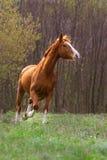 Czerwony koński bieg Obraz Stock