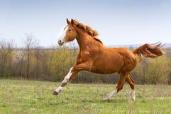 Czerwony koński bieg Fotografia Stock