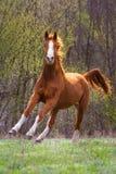 Czerwony koński bieg Zdjęcia Stock