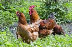 Czerwony kogut i kurczaki Obrazy Stock