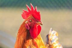 Czerwony kogut w świetle słonecznym Zdjęcia Stock
