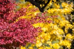 Czerwony kolor liść z plamą żółty ginko zdjęcie stock