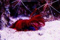 Czerwony koral Zdjęcie Stock