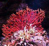 Czerwony koral fotografia royalty free