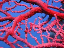 Czerwony koral obraz royalty free