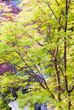 Czerwony Korala Barkentyny Klonu Drzewo Zdjęcie Royalty Free