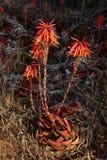 Czerwony koralowego drzewa kwiat przeciw ciemnemu tłu w Portugalia Zdjęcia Royalty Free