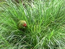 Czerwony koronowany parakeet fura?uje w d?ugiej trawie fotografia stock